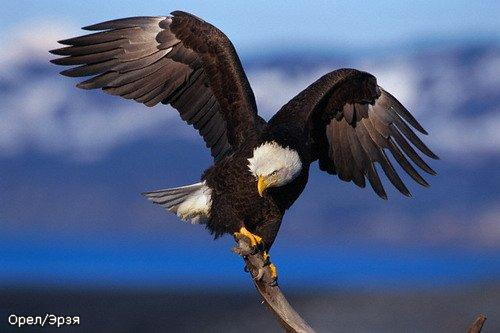 картинки летящий орёл